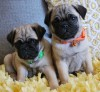 Charming Male and Female Pug Puppies For Sale